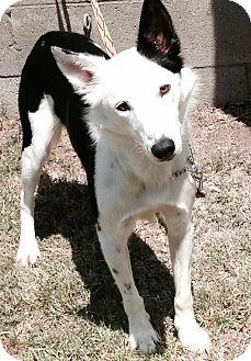 Border Collie Dog for adoption in San Pedro, California - CAP