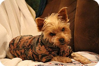 Yorkie, Yorkshire Terrier Mix Dog for adoption in Charlotte, North Carolina - Maggie