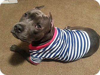 American Pit Bull Terrier Mix Dog for adoption in Brooklyn, New York - Bluie