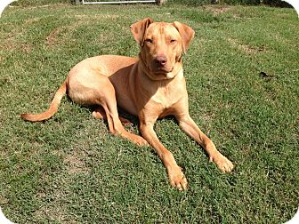 Labrador Retriever/Chesapeake Bay Retriever Mix Dog for adoption in Waterbury, Connecticut - Charlie