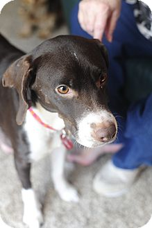 Beagle/Labrador Retriever Mix Dog for adoption in Hagerstown, Maryland - Kiki