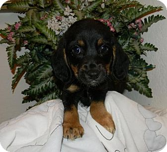 Beagle Dog for adoption in Chester, Illinois - Harper
