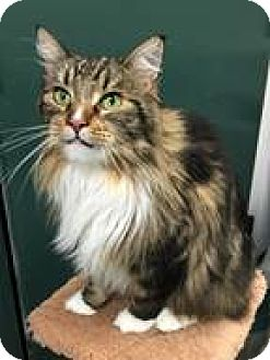 Maine Coon Cat for adoption in Fairfax, Virginia - Bella