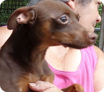Miniature Pinscher Dog for adoption in Crump, Tennessee - Chance
