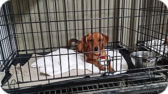Dachshund/Terrier (Unknown Type, Small) Mix Dog for adoption in Lubbock, Texas - Rusty