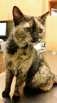 Domestic Shorthair Cat for adoption in Chicago, Illinois - Kookie