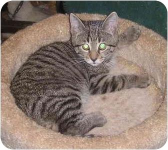 Domestic Shorthair Kitten for adoption in Laurel, Maryland - Pepper