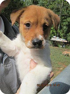 Brittany/Carolina Dog Mix Puppy for adoption in Oswego, New York - Calvin