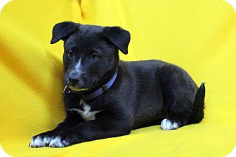 Shepherd (Unknown Type)/Labrador Retriever Mix Puppy for adoption in Westminster, Colorado - Nillie