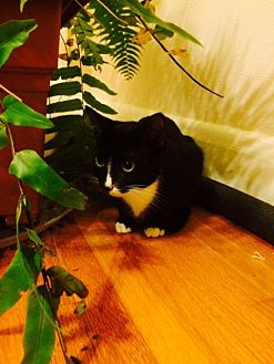 Domestic Shorthair Cat for adoption in Chattanooga, Tennessee - Tilak