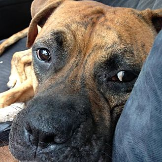 Boxer/American Bulldog Mix Dog for adoption in Miami, Florida - Tiger