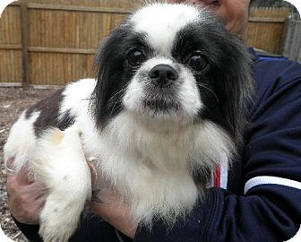 Japanese Chin Dog for adoption in Rockville, Maryland - Oreo
