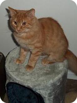 Domestic Longhair Cat for adoption in Ashland, Ohio - Hutch