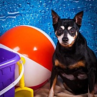 Miniature Pinscher Dog for adoption in Elizabethtown, Pennsylvania - Macho