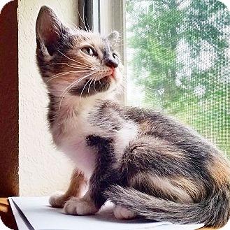 Calico Cat for adoption in Texarkana, Arkansas - Madeline