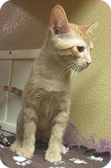 Domestic Shorthair Kitten for adoption in Livonia, Michigan - C10 Litter-Vladimir
