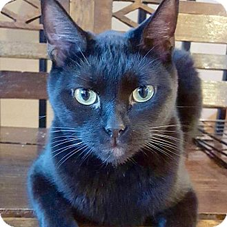 Domestic Shorthair Cat for adoption in McDonough, Georgia - Isaiah