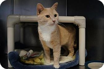 Domestic Shorthair Cat for adoption in New Milford, Connecticut - Marnie