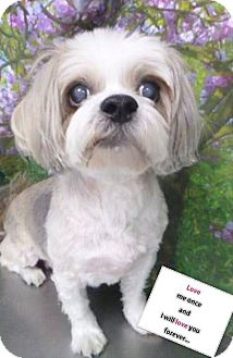 Shih Tzu Mix Dog for adoption in Las Vegas, Nevada - Birre