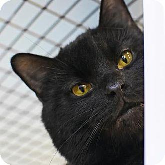 Domestic Shorthair Cat for adoption in Denver, Colorado - Sable