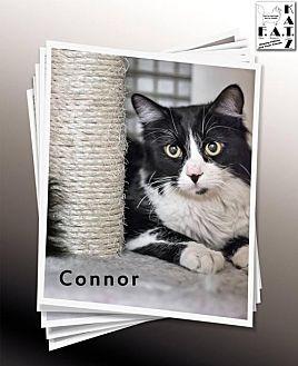 Domestic Shorthair Cat for adoption in Albuquerque, New Mexico - Connor