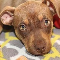 Adopt A Pet :: Evander - Rossville, TN