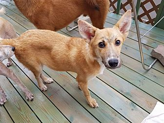 Jindo Mix Dog for adoption in los angeles, California - Luka