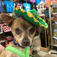 Chihuahua Mix Dog for adoption in Rio Rancho, New Mexico - Benji