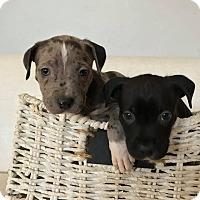 Adopt A Pet :: Collette Litter 2 Puppies left - Inglewood, CA