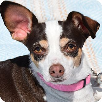 Chihuahua/Jack Russell Terrier Mix Dog for adoption in Huntley, Illinois - Lacey