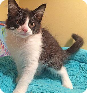Domestic Mediumhair Kitten for adoption in Youngsville, North Carolina - Harriet17