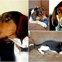 Adopt A Pet :: CALVIN - Findlay, OH