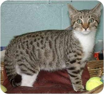 Domestic Shorthair Kitten for adoption in Honesdale, Pennsylvania - Ramesses