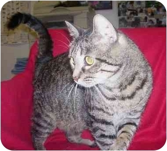 Domestic Shorthair Cat for adoption in Anna, Illinois - ABBY