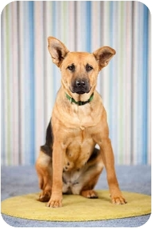 German Shepherd Dog Mix Dog for adoption in Portland, Oregon - Percy