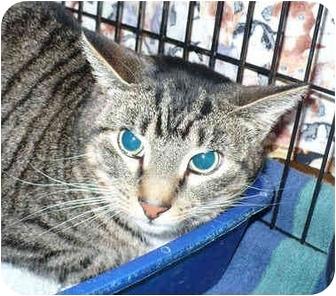 Domestic Shorthair Cat for adoption in Colmar, Pennsylvania - Meatball