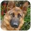 Photo 2 - German Shepherd Dog Dog for adoption in Los Angeles, California - Rommel von Rosenthal