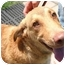 Photo 3 - Chesapeake Bay Retriever Puppy for adoption in Hartford, Connecticut - Jeb AD 08-13-10