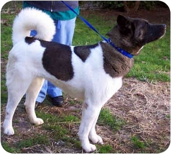 Akita Dog for adoption in Long Beach, New York - Jetta