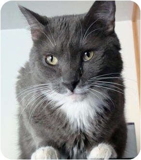 Domestic Shorthair Cat for adoption in Quail Valley, California - Chow Ling