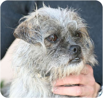 Brussels Griffon Mix Dog for adoption in Berkeley, California - Paisley