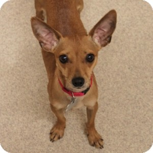 Chihuahua Dog for adoption in Naperville, Illinois - Blondie