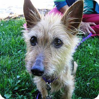 Australian Terrier/Yorkie, Yorkshire Terrier Mix Dog for adoption in Oshkosh, Wisconsin - Abbey