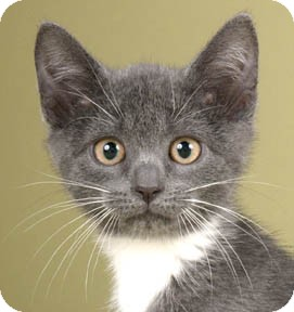 Domestic Shorthair Kitten for adoption in Chicago, Illinois - Blue