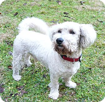 Poodle (Standard)/Bichon Frise Mix Dog for adoption in Mocksville, North Carolina - Philippe