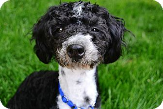Poodle (Miniature)/Spaniel (Unknown Type) Mix Dog for adoption in Troy, Michigan - Bruno Mars