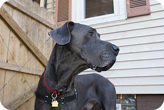 Great Dane Dog for adoption in Baden, Pennsylvania - Clyde