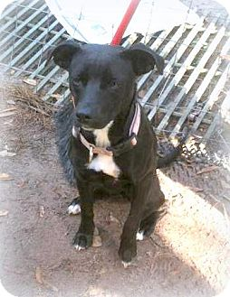 Jack Russell Terrier Mix Dog for adoption in Groveland, Florida - Minnie