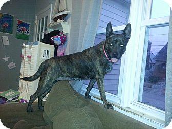 Australian Kelpie/Australian Cattle Dog Mix Dog for adoption in East Rockaway, New York - Holly Holly