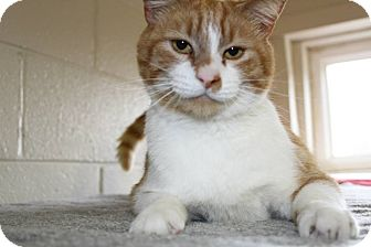 Domestic Shorthair Cat for adoption in Mineral, Virginia - Geronimo